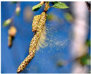 Аллергия Поллиноз